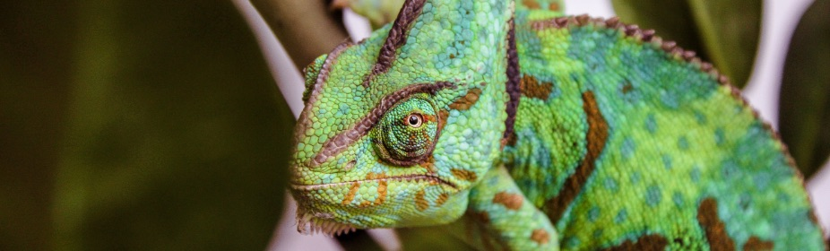 Veiled chameleon care & feeding