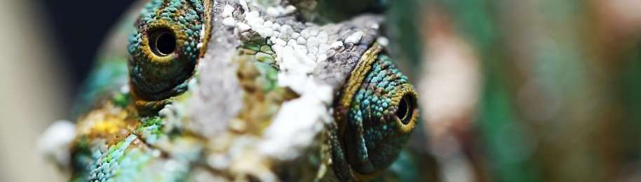 Veiled Chameleons size and life expectancy
