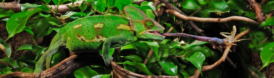 Veiled Chameleons Prefer Flowing Water