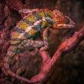 Panther Chameleons Prefer Flowing Water