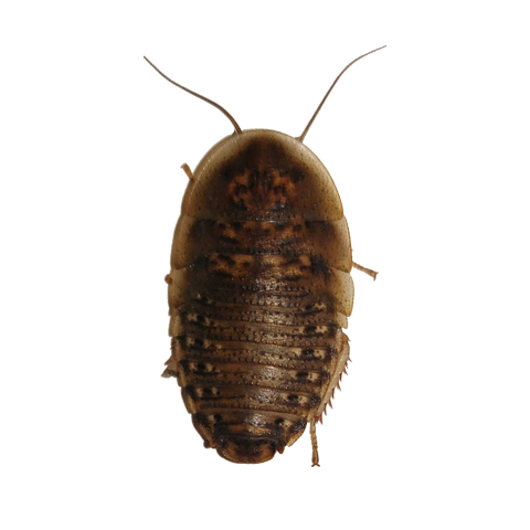 Dubia Roaches for Sale Image: 3/16 - ¼